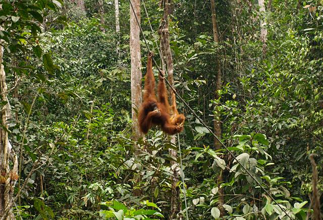 orangutang-2